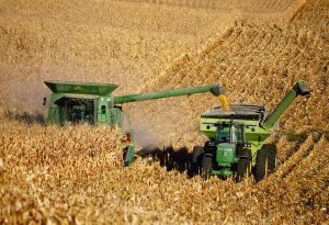 Harvesting grain corn